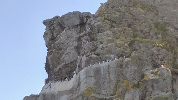 Birds on cliffs at Lundy